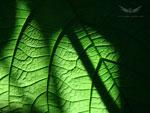 Fond d'écran végétal - texture de feuille géante