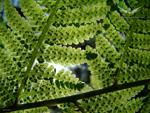 Fond ecran : Rideau de feuilles de fougères